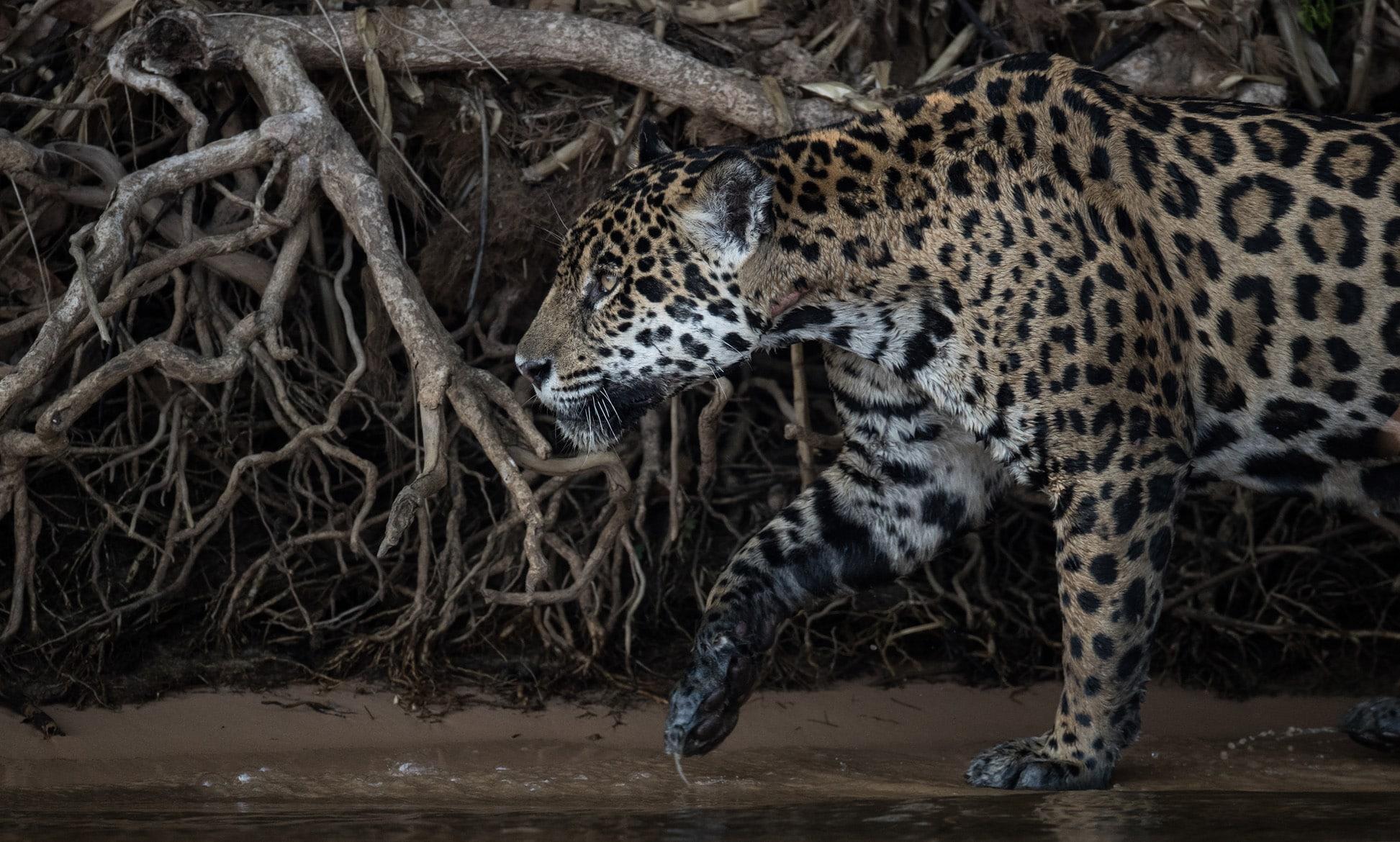 Panthera Onça
